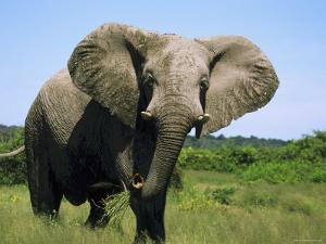 African Elephant Grazing, Chobe National Park Botswana by Tony Heald