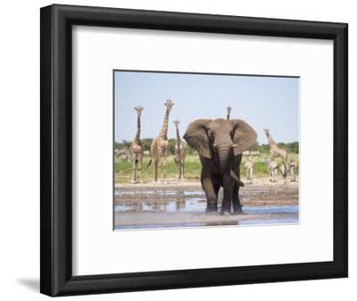 African Elephant, Warning Posture Display at Waterhole with Giraffe, Etosha National Park, Namibia