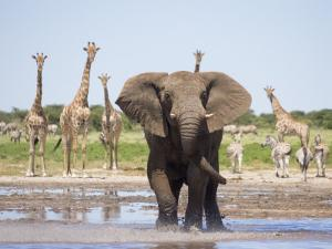 African Elephant, Warning Posture Display at Waterhole with Giraffe, Etosha National Park, Namibia by Tony Heald