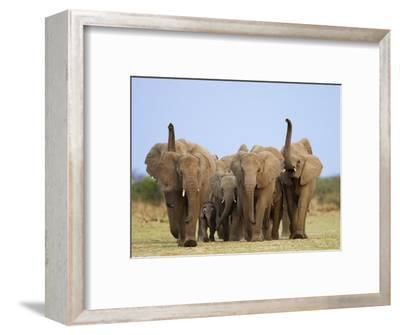 African Elephants, Using Trunks to Scent for Danger, Etosha National Park, Namibia