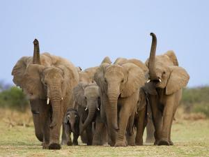 African Elephants, Using Trunks to Scent for Danger, Etosha National Park, Namibia by Tony Heald