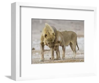 African Lion Courtship Behaviour Prior to Mating, Etosha Np, Namibia