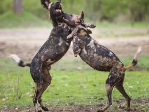 African wild dog, male and female play fighting. Mana Pools National Park, Zimbabwe by Tony Heald