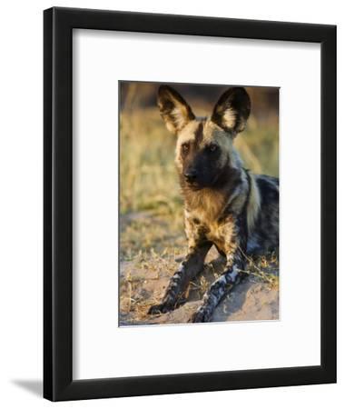 African Wild Dog, Moremi Wildlife Reserve, Botswana