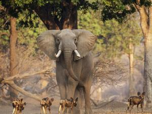 African Wild Dogs (Lycaon Pictus) Passinginfront Of Large African Elephant (Loxodonta Africana) by Tony Heald
