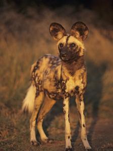 Arican Wild Dog Portrait (Lycaon Pictus) De Wildt, S. Africa by Tony Heald