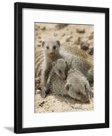 Banded Mongoose and Young, Etosha National Park, Namibia