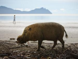 Bearded Pig Foraging on the Beach, Bako National Park, Sarawak, Borneo 2008 by Tony Heald