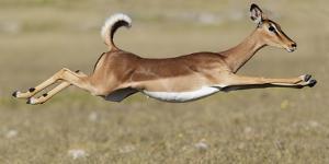 Black Faced Impala (Aepyceros Melamis Petersi) Female Jumping, Etosha National Park, Namibia by Tony Heald
