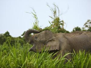 Bornean Pygmy Elephant Threshing Food, Sukau, Sabah, Borneo by Tony Heald