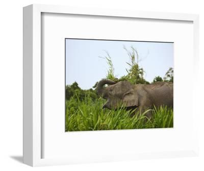 Bornean Pygmy Elephant Threshing Food, Sukau, Sabah, Borneo