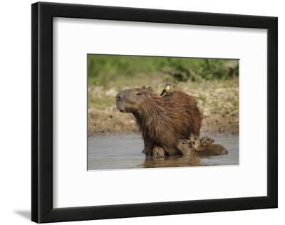 Capybara (Hydrochoerus Hydrochaeris) Female With Young