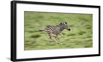 Common Zebra Foal Running (Equus Quagga) Etosha Np, Namibia, Digitally Enhanced