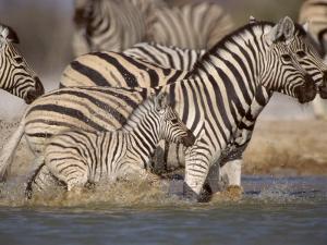 Common Zebra Wading at Waterhole Etosha Np, Namibia, 2006 by Tony Heald