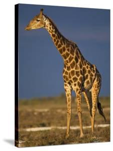 Giraffe Portrait at Sunset, Etosha Np, Nambia by Tony Heald