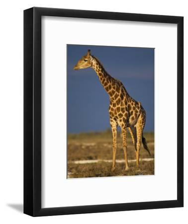 Giraffe Portrait at Sunset, Etosha Np, Nambia