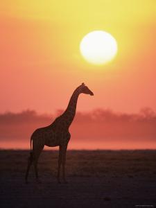 Giraffe Silhouette at Sunset, (Giraffa Camelopardalis) Etosha National Park, Namibia by Tony Heald