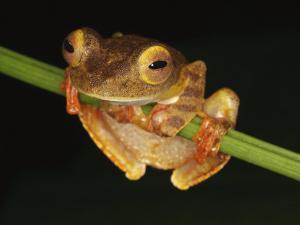 Harlequin Tree Frog on Stem of Rainforest Plant, Danum Valley, Sabah, Borneo by Tony Heald