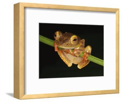 Harlequin Tree Frog on Stem of Rainforest Plant, Danum Valley, Sabah, Borneo