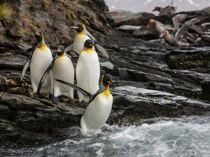 King penguin group on rocks, jumping into South Atlantic. St Andrews Bay, South Georgia by Tony Heald
