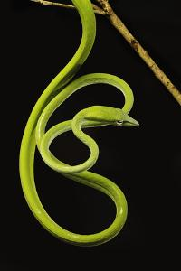 Oriental Whip Snake [Ahaetulla Prasina] Bako National Park, Sarawak, Borneo Sept 08 by Tony Heald