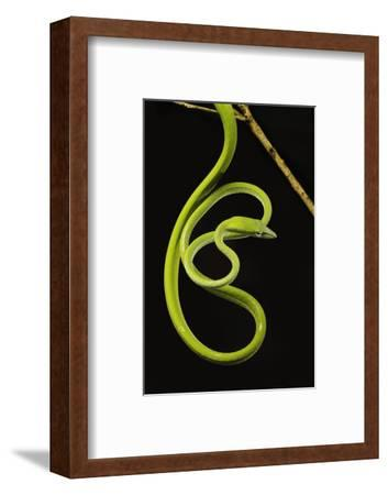 Oriental Whip Snake [Ahaetulla Prasina] Bako National Park, Sarawak, Borneo Sept 08