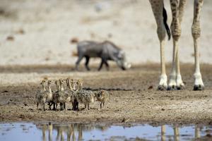 Ostrich Chicks (Struthio Camelus) Etosha Np, Namibia. Giraffe Legs And Distant Warthog by Tony Heald