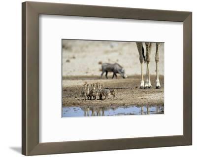 Ostrich Chicks (Struthio Camelus) Etosha Np, Namibia. Giraffe Legs And Distant Warthog