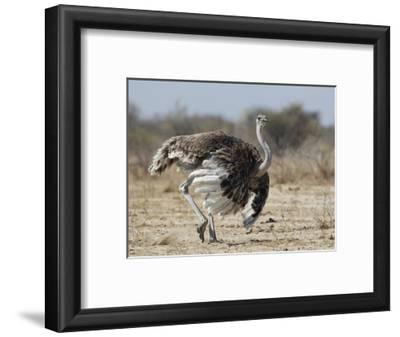 Ostrich [Struthio Camelus] Courtship Display By Female, Etosha National Park, Namibia, August