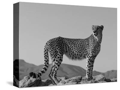 Portrait of Standing Cheetah, Tsaobis Leopard Park, Namibia