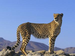 Portrait of Standing Cheetah, Tsaobis Leopard Park, Namibia by Tony Heald