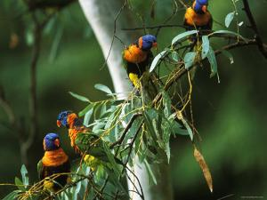 Red Collared Rainbow Lorikeets Flock in Tree, Western Australia by Tony Heald