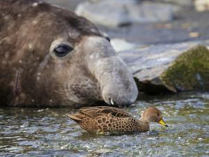 South Georgia pintail swimming in front of Southern elephant seal, Gold Harbour, South Georgia by Tony Heald