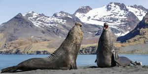 Southern elephant seal, two males threatening one another. Gold Harbour, South Georgia by Tony Heald