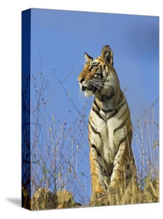 Tiger, Viewed from Below, Bandhavgarh National Park, India