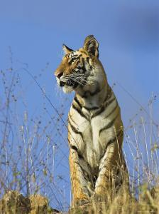 Tiger, Viewed from Below, Bandhavgarh National Park, India by Tony Heald