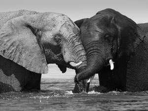 Two African Elephants Playing in River Chobe, Chobe National Park, Botswana by Tony Heald