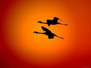 Two Greater Flamingos Flying Across Sunset Sky, Namibia by Tony Heald