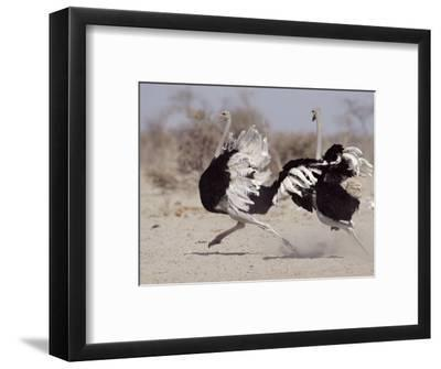 Two Male Ostriches Running During Dispute, Etosha National Park, Namibia