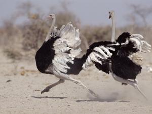 Two Male Ostriches Running During Dispute, Etosha National Park, Namibia by Tony Heald