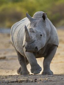 White Rhinoceros Etosha Np, Namibia January by Tony Heald