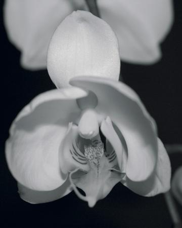 Night Orchid I