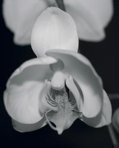 Night Orchid I by Tony Koukos
