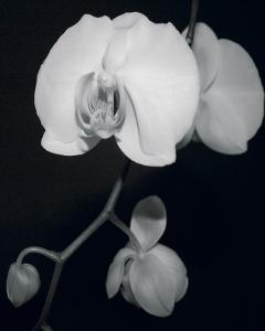 Night Orchid III by Tony Koukos