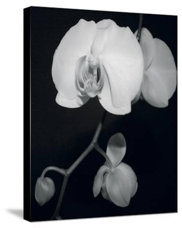 Night Orchid III