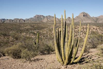 Cardon cactus, near Loreto, Baja California, Mexico, North America