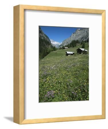 Early Summer Meadow Flowers, Above Kandersteg, Swiss Alps, Switzerland