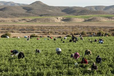 Picking beans, El Rosario, Baja California, Mexico, North America