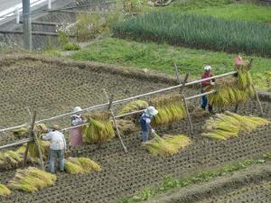 Rice Harvest, Hanging Out Cut Rice to Dry, Hiraizumi, Iwate-Ken, Northern Honshu, Japan, Asia by Tony Waltham