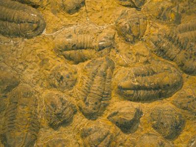 Trilobites (Platypectoides), Fossils from the Ordovician, Dades Valley, Morocco